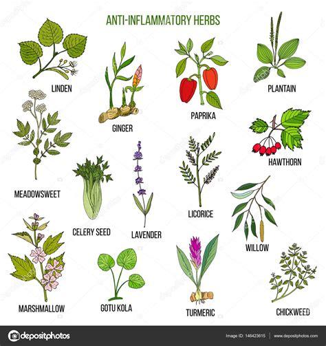 imagenes vectoriales para que sirven hierbas antiinflamatorias mano dibujada conjunto de