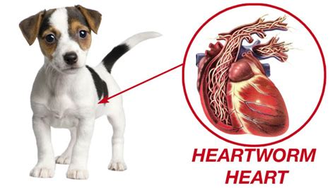 heartworms in puppies drronsanimalhospitalsimivalley