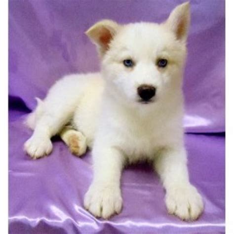siberian husky puppies for sale in va siberian husky west virginia breeders puppies for sale find those breeds picture