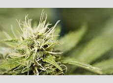 Cinex Cannabis Strain Information - Leafly Leafly App