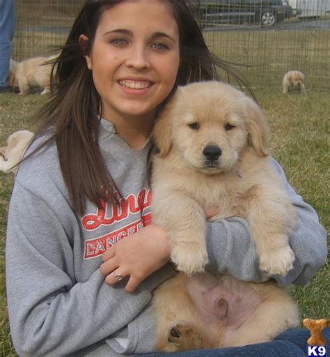 golden retriever breeder md golden retriever puppies for sale in maryland