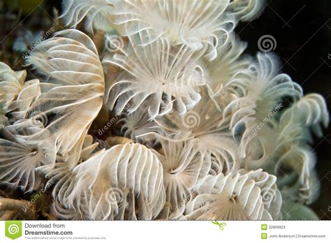 social feather duster worms social feather duster worms stock photos image 22809923