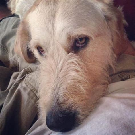 golden retriever rescue cleveland ohio 25 best ideas about wolfhound rescue on wolfhound