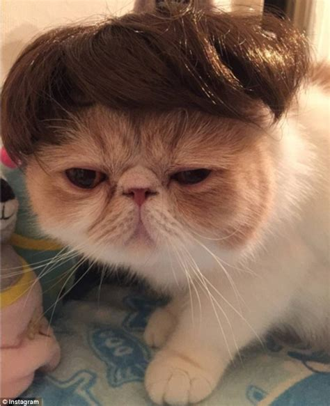 cat wig cats with wigs www imgkid the image kid has it