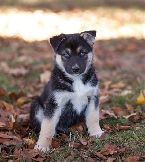 husky german shepherd mix puppies craigslist german shepherd husky puppies craigspets