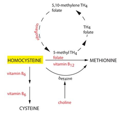 high homocysteine | linus pauling institute | oregon state