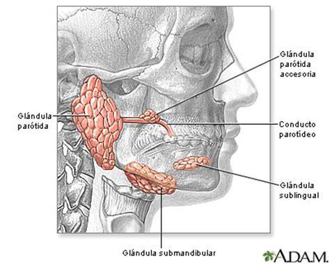 glandula submaxilar anatomia ely sonrrisas glandulas salivales