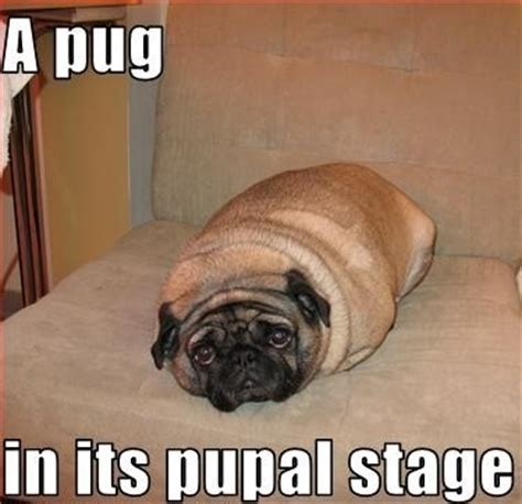 Funny Pug Meme - funny pug dog memes memes pinterest