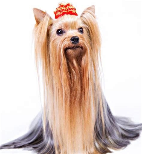 do yorkies human hair 7 things we bet you didn t about terriers