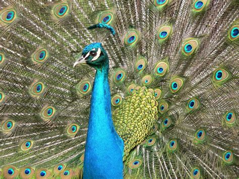 peacock wallpapers visitor for travel beautiful peacock wallpapers free