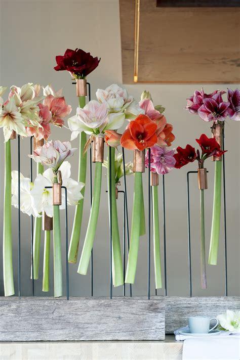 wie pflege ich eine amaryllis 4359 de amaryllis staat week 48 t m 52 op de bloemenagenda