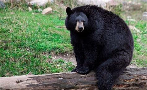 imagenes de animales endemicos ursos negros voltam a habitar regi 227 o centro oeste dos eua