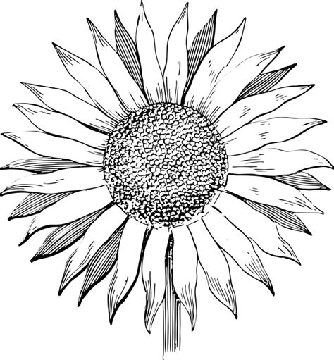 Sunflower Outline Png by Sunflower Line Www Pixshark Images Galleries With A Bite