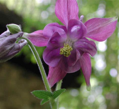shortspur columbine aquilegia brevistyla aka smallflower columbine 16 wild flowers of