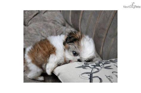 teacup shih tzu for sale near me best 25 shih tzu for sale ideas on puppies for sale teacup dogs for