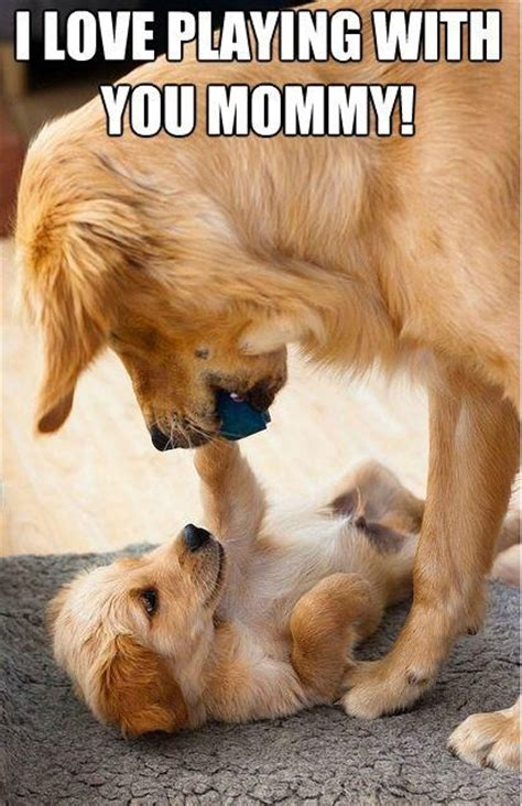 when do golden retrievers lose their baby teeth 1000 images about goldens on golden retrievers puppys and