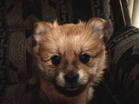 puppies for adoption in colorado pomeranian puppies for sale adoption from littleton colorado jefferson adpost