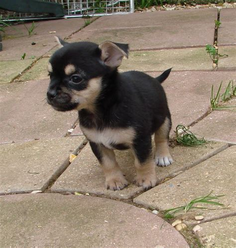 chihuahua x pug puppies chihuahua x pug puppies march cambridgeshire pets4homes