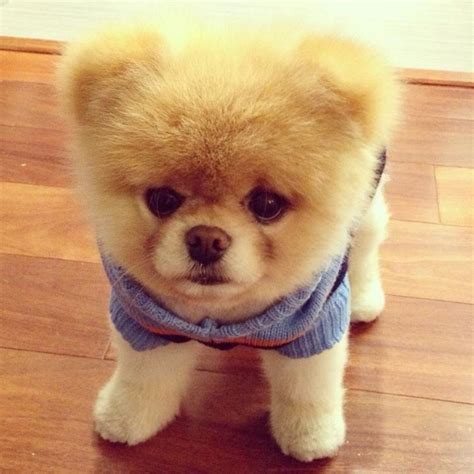 teddy the pomeranian boo the pomeranian he s the world s cutest he s like a teddy i want
