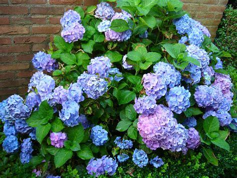 hortensie endless summer standort 2338 blue hydrangea 2 hortensie albastra 2 a garden in