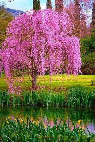 cherry tree family janetmillslove amazing bloom moment f 225 k flowers nature and weeping