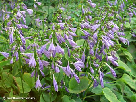 picture of purple flower hosta