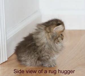 rug hugger rug huggers for sale rug hugger kittens for
