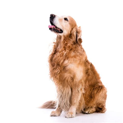 golden retriever coat golden retriever dogs breed information omlet