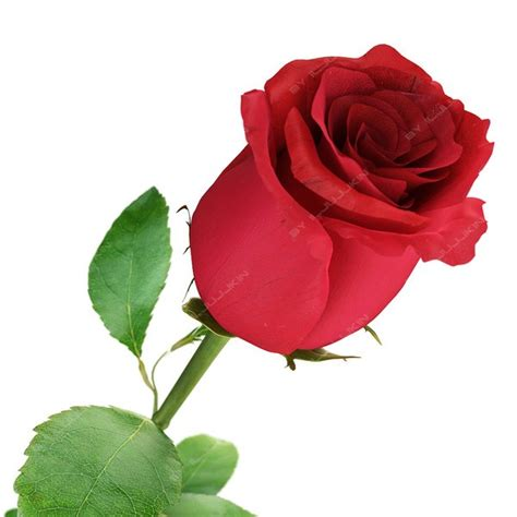 roses on day 10 awesome beautiful happy day 2015 images