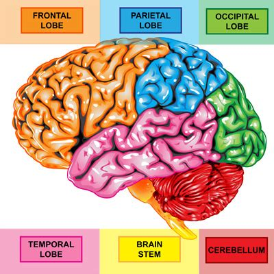 Sections Of The Brain And What They by Cognitive Skills Of The Brain Brain Injury Alliance Of Utah