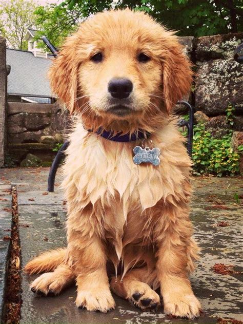 real golden retriever 25 best ideas about golden retrievers on golden baby golden