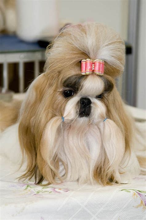 groomed shih tzu finely groomed shih tzu ready for the judges photo philip photos at pbase