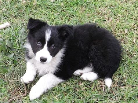 border collie puppies for sale in missouri 17 best ideas about collie puppies for sale on border collie puppies