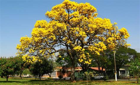 tehnik pembibitan angsana pterocarpus indicus willd