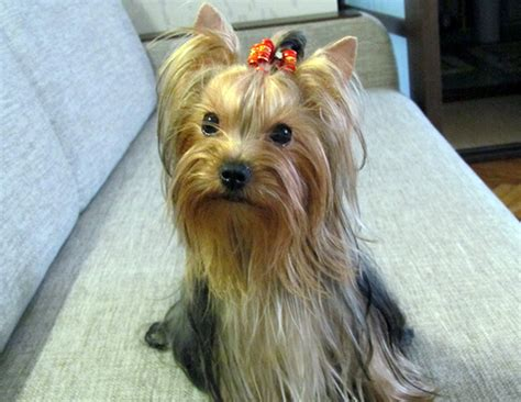 yorkie hair color terrier coat colors might vary from a puppy to an yorkie