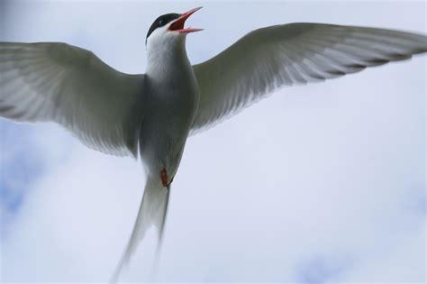 byrd tern file arctic tern 8664 jpg