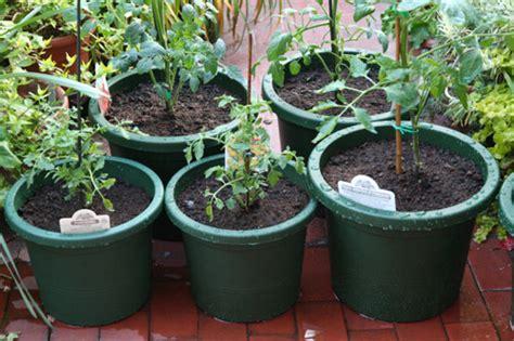 zucchine coltivate in vaso orto in vaso come fare quando sei in vacanza