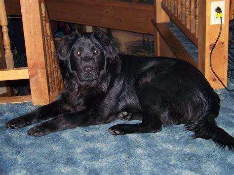 blooded golden retriever puppy mr mojo dogcast radio