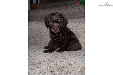 yorkie puppies wilmington nc yorkiepoo yorkie poo puppy for sale near wilmington carolina 62d6abbf 9aa1