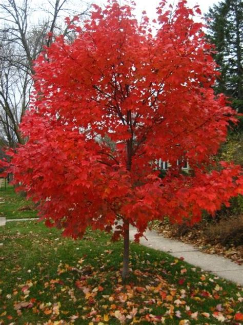 best maple tree varieties 25 best ideas about maple tree on maple tree japanese maple trees and japanese