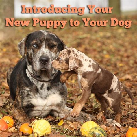 introducing puppy to 17 best ideas about new puppy on