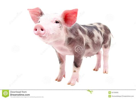 funny small funny little pig stock photo image 55139300