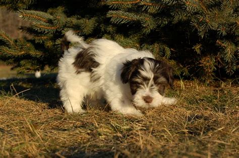 havanese breeders maine top 59 ideas about havanese on dogs home and mugs