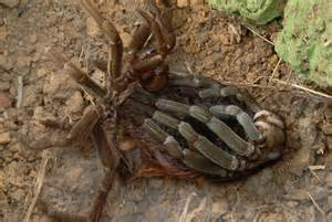 1153007 ecuadorian brown velvet tarantula megaphobema