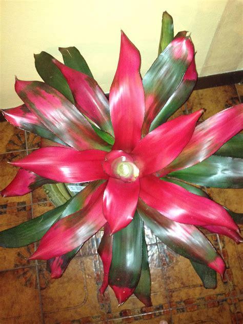 bromeliad neoregelia magali bromeliads bromeliads