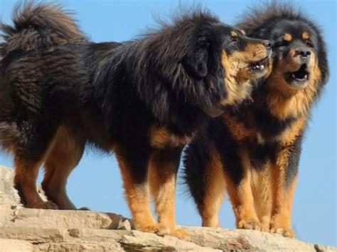 imagenes de animales mas grandes del mundo los perros m 225 s grandes del mundo