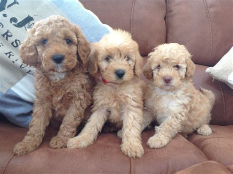 mini labradoodles uk miniature f1b labradoodles crewe cheshire pets4homes