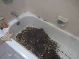 ants in bathtub carpenter ants in bathroom my web value