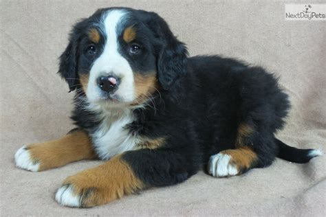 bernese mountain puppies for sale iowa 22 ia 258767 bernese mountain puppy for sale near iowa city iowa 54ada719 46b1