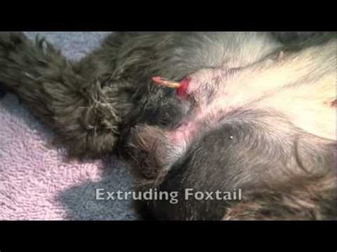 foxtails and dogs canine foxtail removal